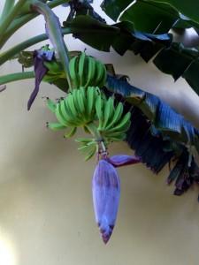 bananen - agb 2013 - curacao